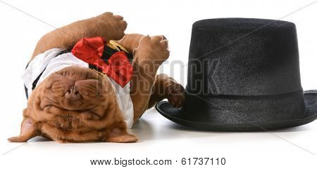 cute puppy - dogue de bordeaux puppy wearing tuxedo laying down sleeping beside tophat