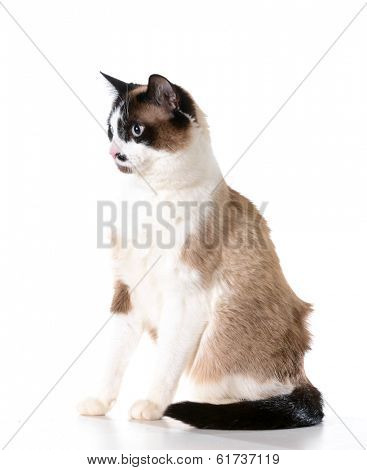 ragdoll cat sitting isolated on white background