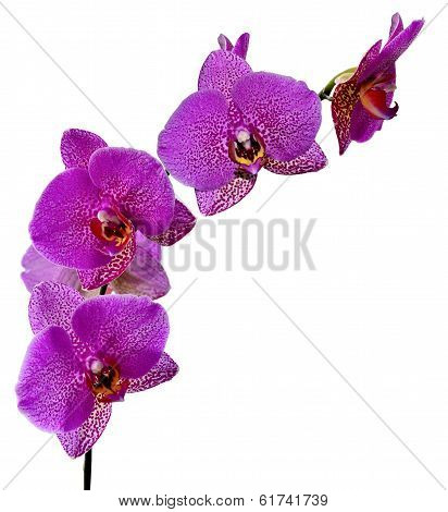 Purple Orchid Flowers.