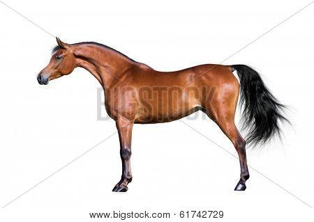 Arabian horse isolated on white background.