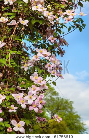 Clematis flowers on a wall