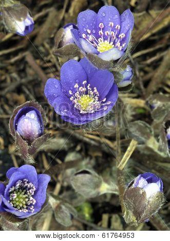 Flowering Wild Anemone Hepatica