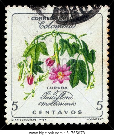 Curuba (passiflora Mollissima)