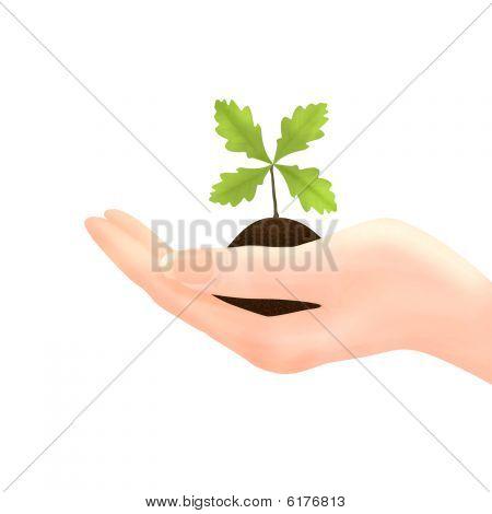 Hand Holding Oak Sapling On White