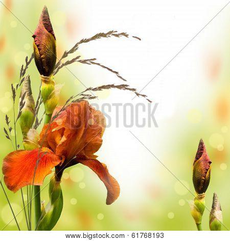 Pink irises against a green grass, a summer butterfly