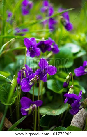 Viola Odorata - Sweet Violet, English Violet, Common Violet, Or Garden Violet