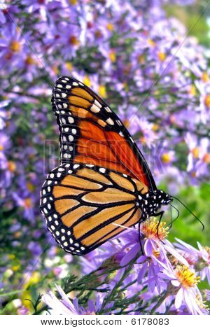 Monarch Butterfly Feeding On Flowers