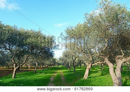 Olive Trees On A Clear Day