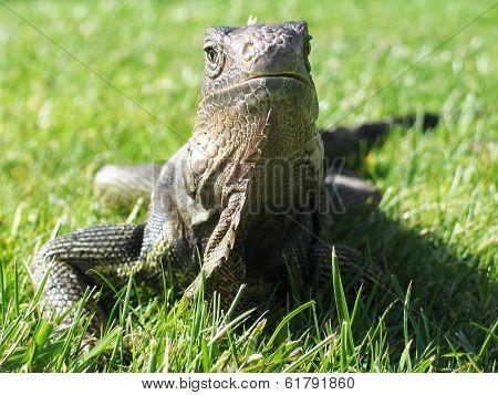 Iguana Sunning on Grassy Lawn