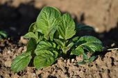 picture of solanum tuberosum  - Colorful and crisp image of potato plant - JPG
