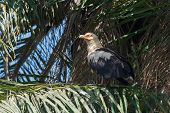 Palm-nut Vulture Perched In A Palm Tree