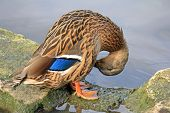 A female mallard, wild duck, with brown-speckled plumage and a patch of white blue and black cleanin