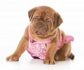 stock photo of dogue de bordeaux  - dog wearing bikini  - JPG