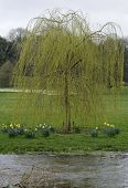 foto of weeping willow tree  - A weeping willow tree by a river, with daffodils.
