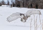 image of snow owl  - Snowy owl in flight, catching prey in open corn field.  Winter in Minnesota.