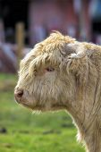 foto of cattle breeding  - Kyloe Highland Cattle Calf Scottish Breed Portrait - JPG