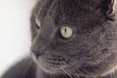 picture of portrait british shorthair cat  - closeup portrait of british shorthair cat vintage toned - JPG