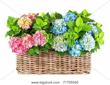 Colorful Blue And Pink Hydrangea Bushes