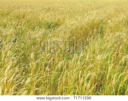 Endles Yellow Beautifull Wheatfield In Summer