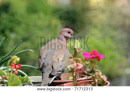 dove bird