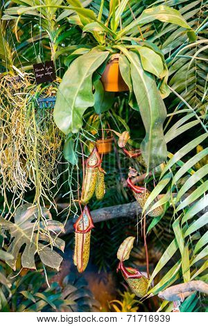 Nepenthes Carnivorous Plant Family In The Greenhouse Botanical Garden In Moscow