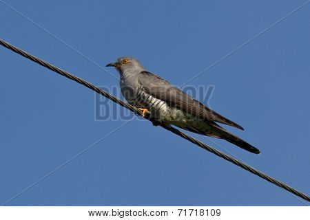 Cuckoo Is Sitting On Wires Sunny Summer Day