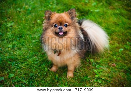Pomeranian dog (Zwergspitz) on green grass