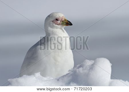 Snowy Sheathbill Which Sits In The Snow Antarctic Winter Day