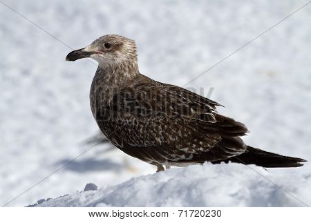 Young Dominican Gull Of Snow In Antarctica