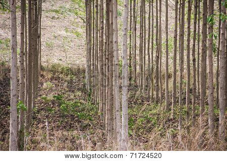Anthocephalus Chinensis Tree