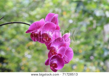Butterfly Orchid flower
