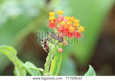 Milkweed flowers and caterpillars