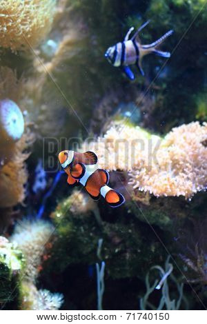 Nemo Fish (clown Fish)
