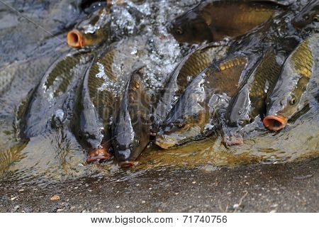 Hungry Carp Fishes