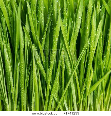 Closeup Of Fresh Green Spring Grass With Wet