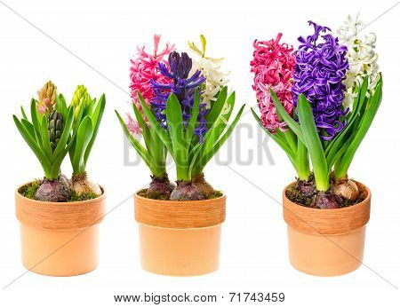 Fresh Hyacinth Flowers In Pot On White