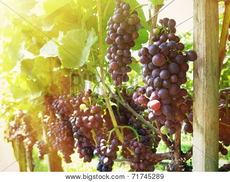Rape grapes in a vineyard