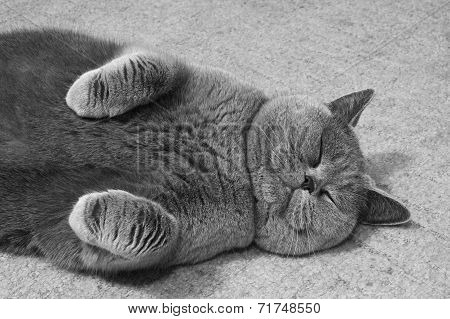 Gray British Cat