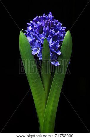 Blue hyacinth isolated on black background