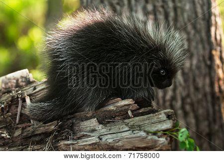 Baby Porcupine (erethizon Dorsatum) Stands On Branch
