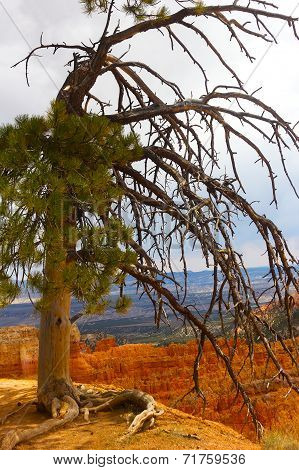 Pine tree on a cliff in Bryce Canyon.