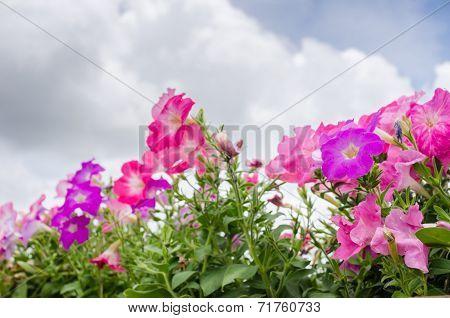 Petunia Or Petunia Hybrida Vilm