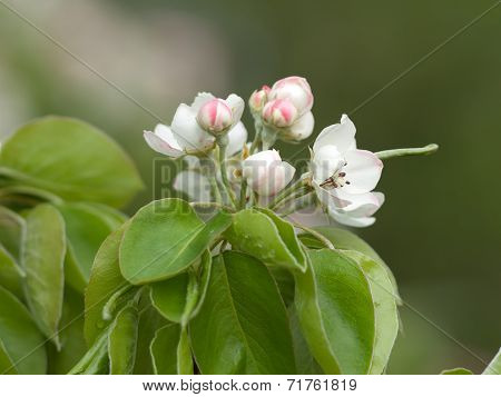 Appletree flower