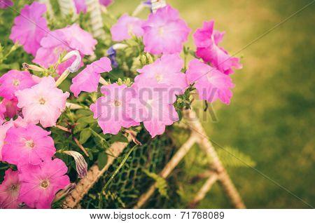 Petunia Or Petunia Hybrida Vilm Vintage