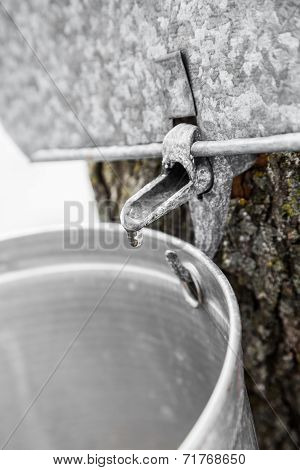 Maple Sap Buckets On Trees In Spring