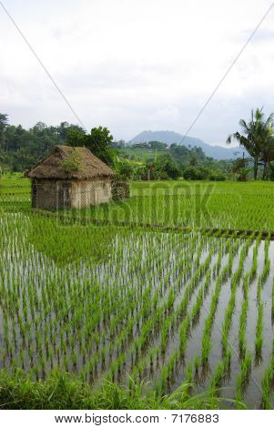 Bali  Little Hut And Ricefields