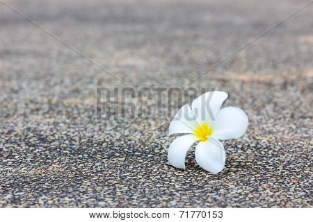 White Plumeria Flower On Concrete Texture