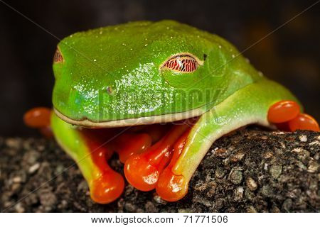 Close up image of a sleeping red eye tree frog, focus on the eye.