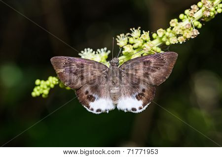 Large Snow Flat Butterfly