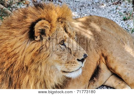 Grizzled Male Lion